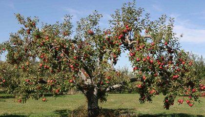 Central de Sermones - El árbol de manzanas